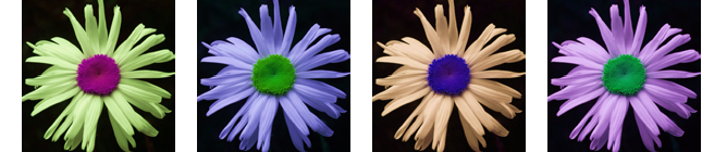 Photo of Digitally Color-Altered Daisies